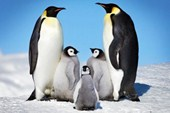Penguin Harmony Penguin Family