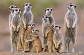 A Mob of Meerkats Animal Photography