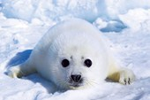 Harp Seal Pup Adorable Animals