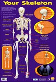 Your Skeleton 206 Bones In The Body