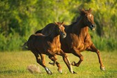 A Mare and her Foal Galloping Horses