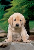 A Cute, Sad Looking Labrador Puppy Labrador Puppy